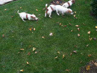 Jakc Russell Terrier