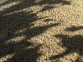 soie 1500-1600 kg este pusă în saci.