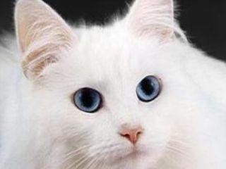 Шикарный белый голубоглазый котенок. Турецкая Ангора.