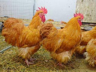 Яйца!!!брама ,орпингтон,плимунтрок!