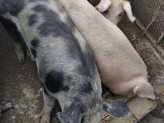 Vindem porci crescuti natural in conditii de casa!