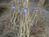 Alun în rădăcină goală -Tonda Gentile de Lange (TGL) / Tonda Gentile Romana,Nocchione, Puieti