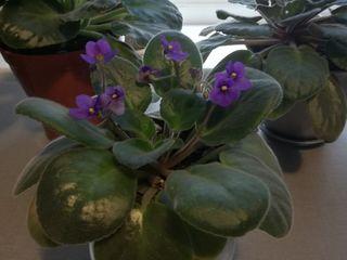 Vind flori de camera