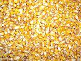 Cumpar porumb  de la 20 -   500 tone  ( uscat 14% umeditate)