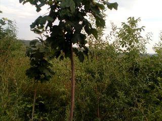 Arbori Decorativi