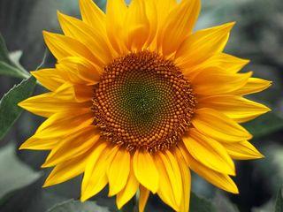 Cumpar floare soarelui