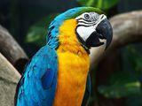 Самый яркий представитель попугаев АРА.