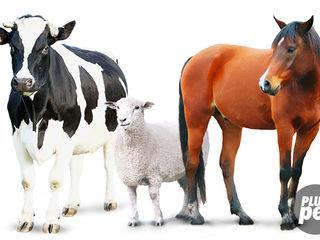 Cumpar animale. vaci. buhai. cai. jitei. oi.