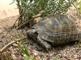 Сухопутная греческая черепаха