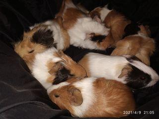 Продаются молодые и взрослые морские свинки/vând porcușori de guineea tineri și adulți!!!
