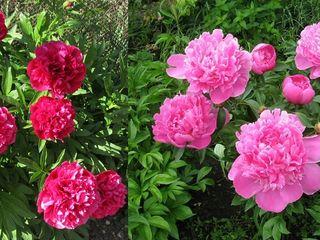 Продаются садовые декоративные многолетники на посадку