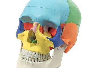 Craniu uman artificial model didactic medical colorat 3 parti череп