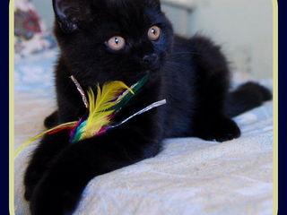 Шикарный черный котенок. Бомбеец. Необыкновенная красота и лоск.  900 лей.