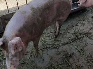 Vând doi porci, crescuți în condiții casnice.