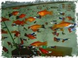 продам рыбок гуппи и меченосцев