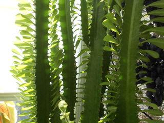 cactus vietnamez