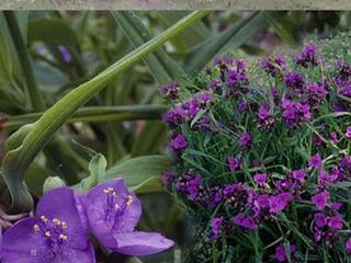 Традесканция виргинская пурпурная,