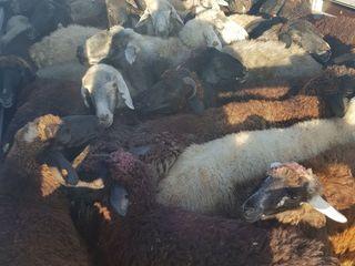 Cumpar oi berbeci cirlani capre закупаю овцы ягнята и козы ! Transportul gratis !
