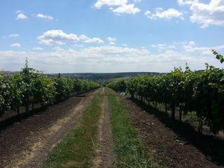 Срочно продам виноградник 7 га виноградника молдова, дает полноценный урожай! площадь 7 га.