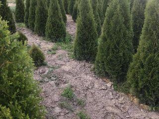 Arbori si arbusti decorativi crescuti in Moldova