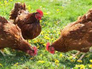 Продаю гранулированный комбинированный корм для  птиц  от производителя .