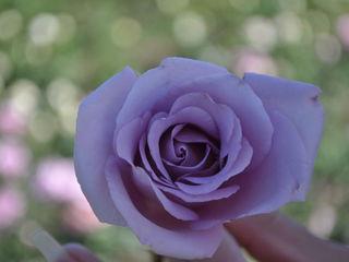 trandafiri cu radacina