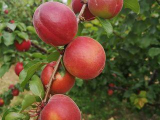 Pomi cais (abrikos ) soi fancez Rubista ( înflorire tîrzie- rezistent la îngheț , autofertil )