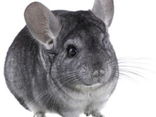 Vind Chinchlla -animal de companie