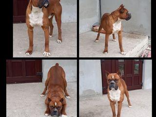 Boxer german la imperechere
