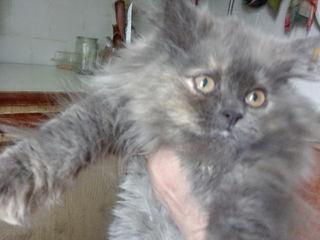Шикарная персидская, очень ласковая, пушистая светло-пепельная девочка- 3,5-4 мес недорого уступаю.