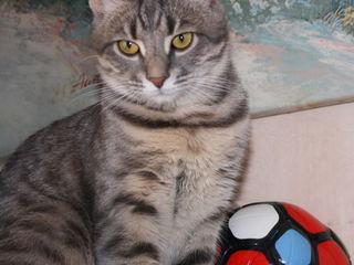 Дымчато-серый котенок породы оцикет.  900 лей.