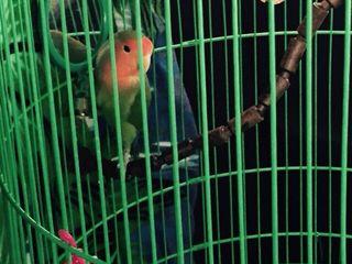 Papagal agapornis