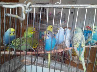 Волнистые попугайчики возраст 45 дн. для разговора самец 180 самка 120 качество гарантирую