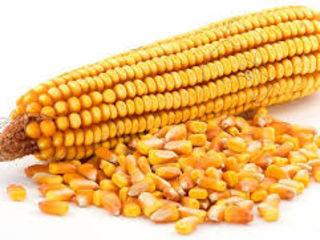Porumbeni 458 semințe de porumb порумбень 458  семена кукурузы