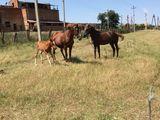 на продаже есть две лошади жеребец и кобыла кобыла через 2 месяца должна жеребица