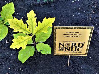 Дуб красный(лат.Quercus rubra)