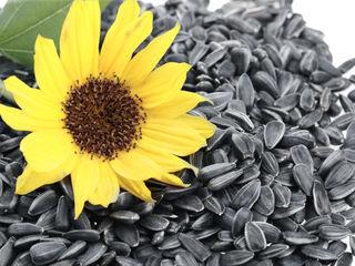 floarea soarelui de la 8 lei