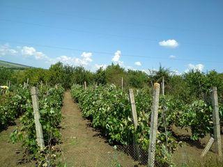 земельный участок с виноградником