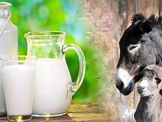 Lapte de magarita foarte benefic ptr sanatate