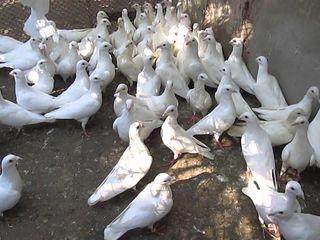 porumbei cehi albi