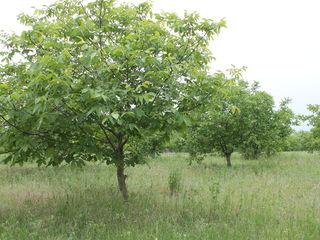 Срочно продаю ореховый сад, 2004 года.