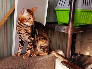 Внимание ! bengal бенгальский котёнок за 150 евро. С официального клубного  питомника! все документы
