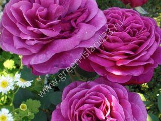 Кусты роз оптом ...недорого