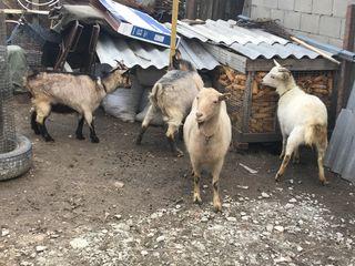 capre care trebuie sa fete