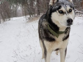 S-a pierdut Husky in Dumbrava