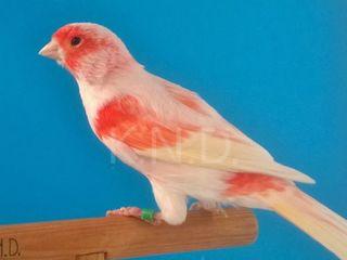 Подарок в день рождения:поющие канарейки,амадины и др. птицы по доступным ценам!Клетки,вальеры.
