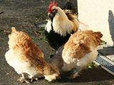 породистые цыплята Фавероль! pui de rasă Faverolles!
