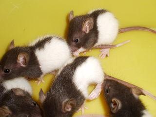 Чудесные крысята