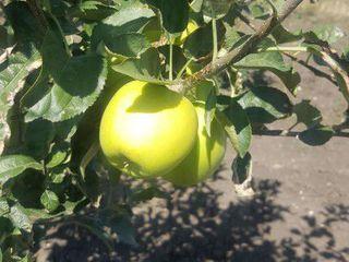 Продам сад с яблоками , саду 4 года, дает урожай уже, 1 ha, в селе Каракушений Векь
