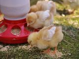 Комбикорм для цыплят старт Hrana pentru pui din prima zi si Crestere Pasari